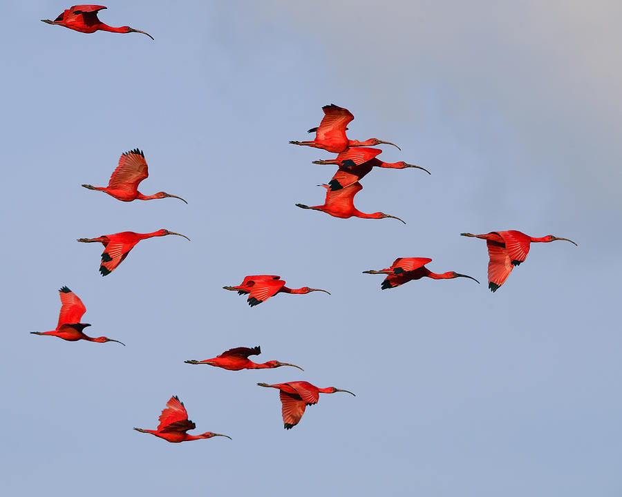 Scarlet Ibis Photograph - Frankly Scarlet by Tony Beck