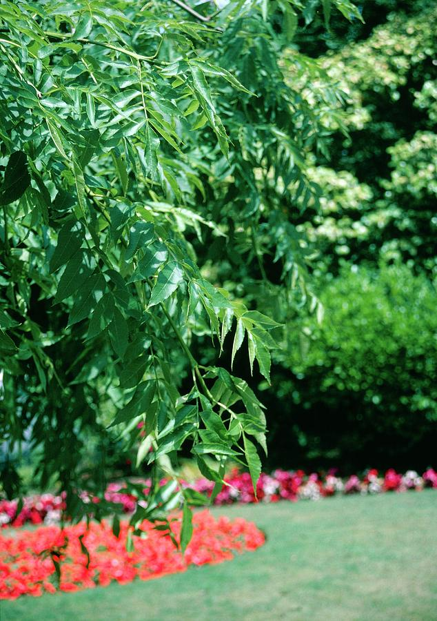 Plant Photograph - Fraxinus Excelsior pendula by David P Indge/science Photo Library