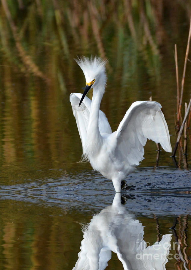 Egrets Photograph - Frazzled by Kathy Baccari