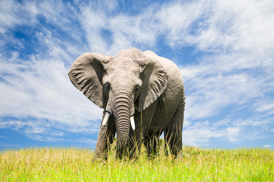 Free African Elephant Photograph by 1001slide