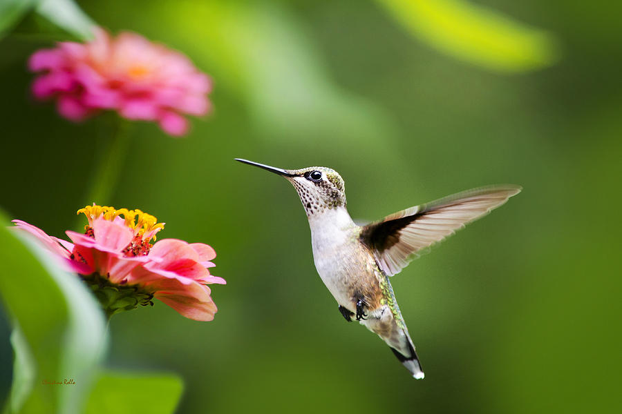 Hummingbird Photograph - Free As A Bird Hummingbird by Christina Rollo