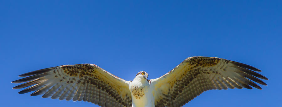 Osprey Photograph - Free Spirit by Laura Bentley