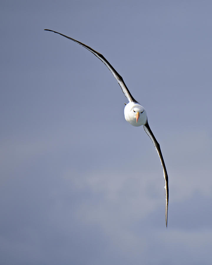 Black-browed Albatross Photograph - Free To Follow by Tony Beck