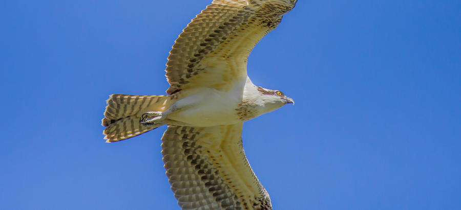 Osprey Photograph - Freedom Flies by Laura Bentley