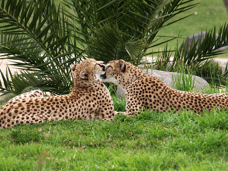 Two Cheetahs Grooming In The Grass Photograph