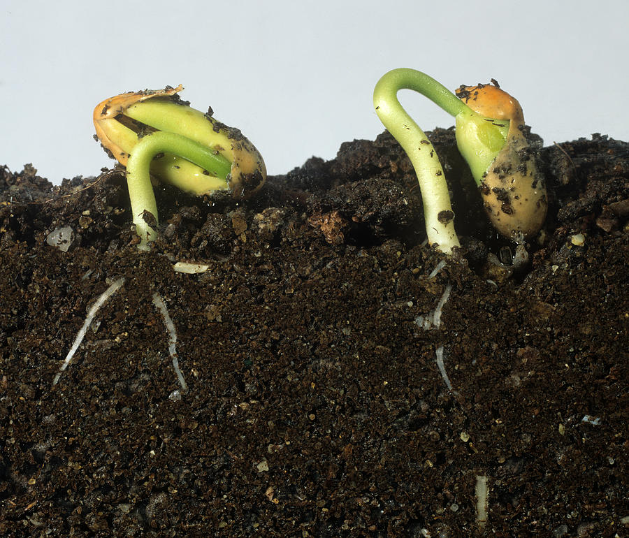 Agriculture Photograph - French Bean Seeds by Nigel Cattlin