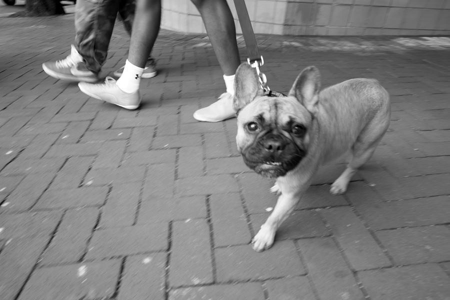 French Bulldog Photograph