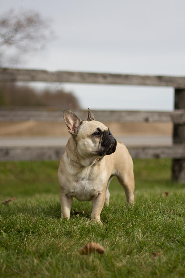 Dog Photograph - French Bulldog by Paulina Szajek