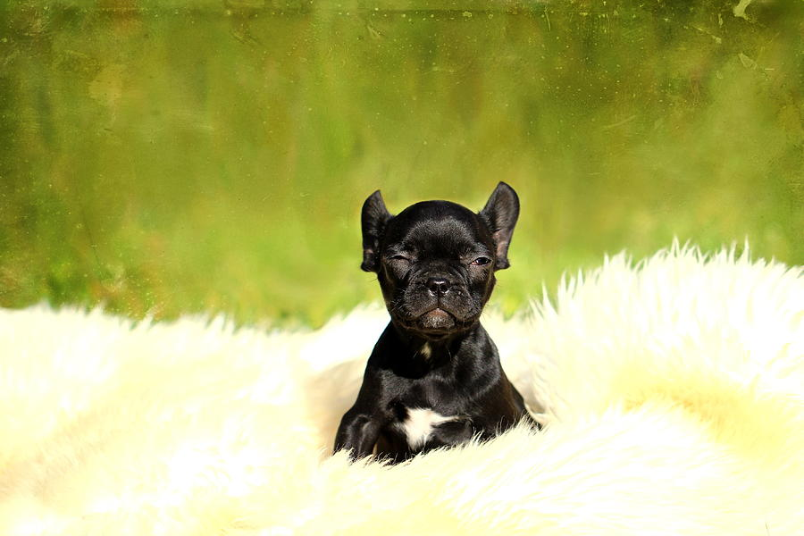 French Bulldogs Photograph - French Bulldoggs by Heike Hultsch