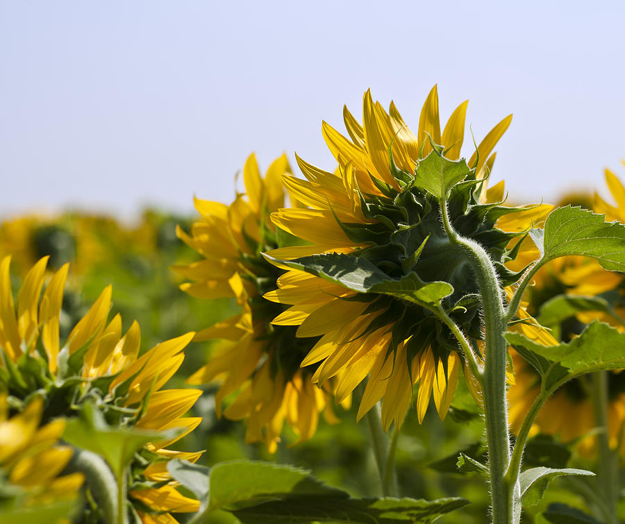 Sunflower Photograph - French Sunflowers by Georgia Fowler