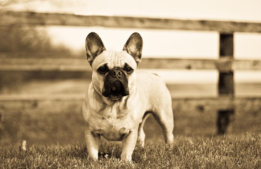 Dog Photograph - Frenche by Paulina Szajek
