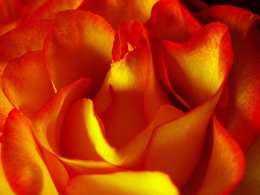 Rose Photograph - Fresh Bloom by Tom Druin