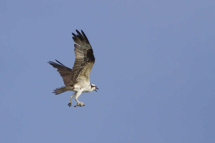 Bird Of Prey Photograph - Fresh Catch by Charles Warren