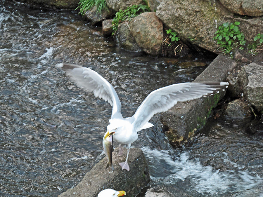 Seagull Photograph - Fresh Catch Of The Day by Barbara McDevitt