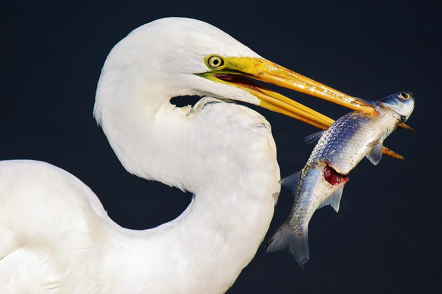 Great White Egret Photograph - Fresh Catch Of The Day by Paulette Thomas