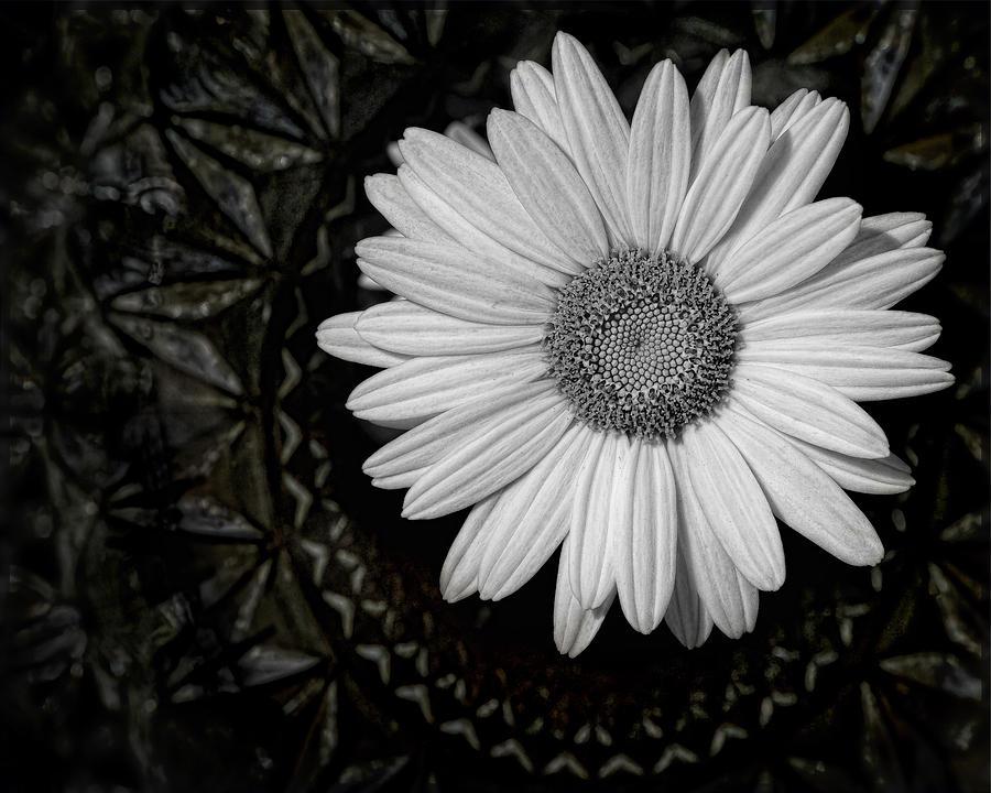 Daisy Photograph - Fresh Cut by Kristi Swift
