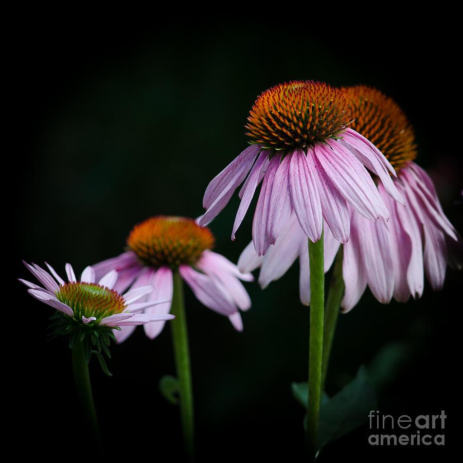 Echinacea Photograph - Fresh Echinacea by Renee Barnes