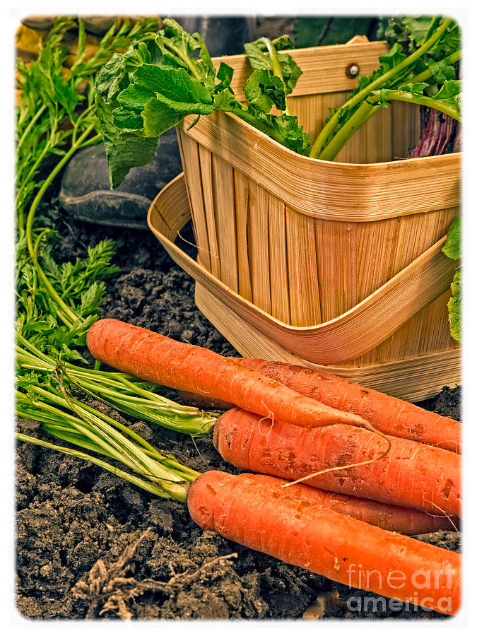 Vintage Photograph - Fresh Garden Vegetables by Edward Fielding