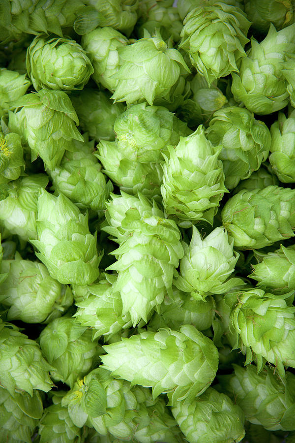 Fresh Hops Photograph by Licreate