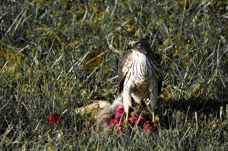 Hawk Photograph - Fresh Kill by Bill Cannon