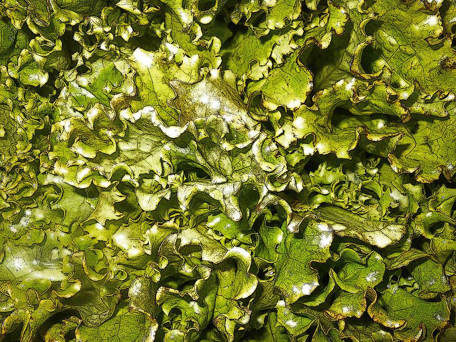Fresh Lettuce Photograph - Fresh Romaine by Sherry Dooley