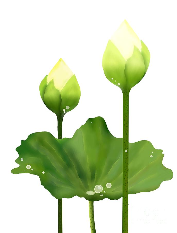 Fresh White Lotus Flowers And Leaf On White Background Drawing