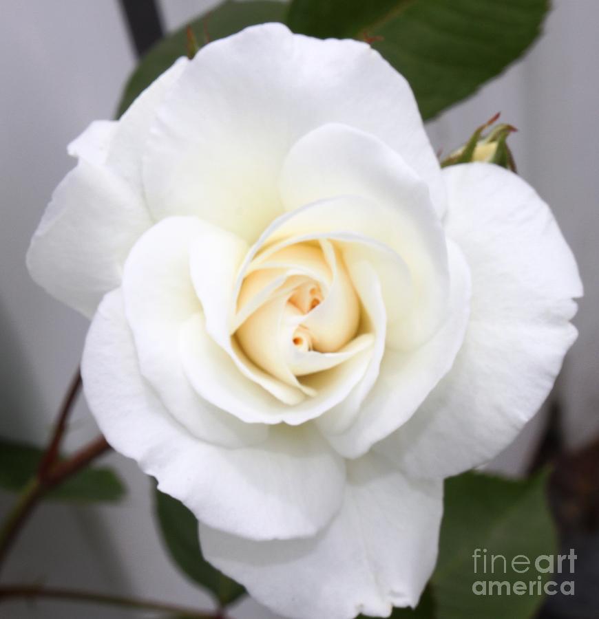 Flower Photograph - Fresh White Rosebud by French Toast
