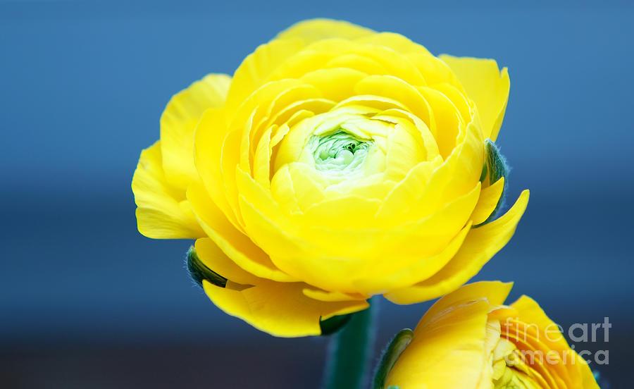 Flowers Photograph - Fresh Yellow by Tatjana Senz