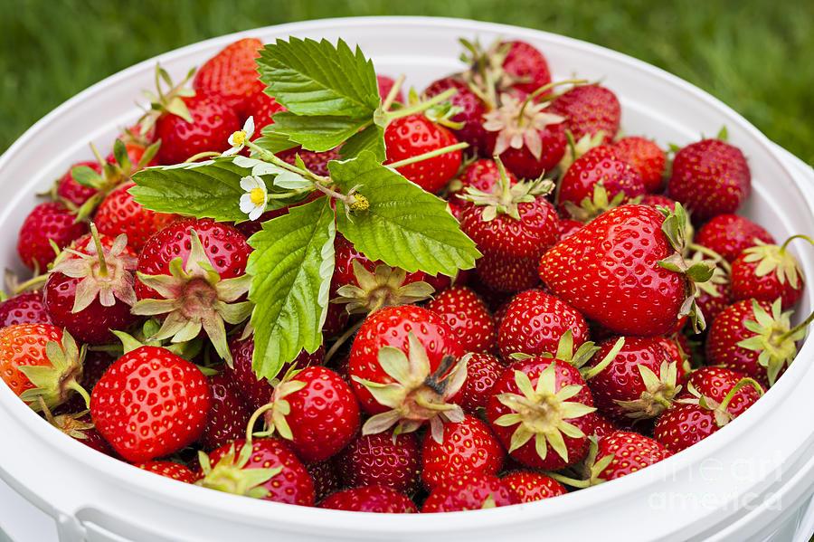 Strawberries Photograph - Freshly Picked Strawberries by Elena Elisseeva