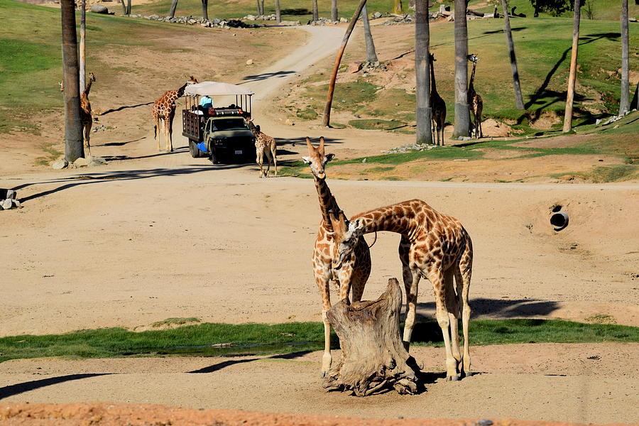 Friendly Giraffes Photograph