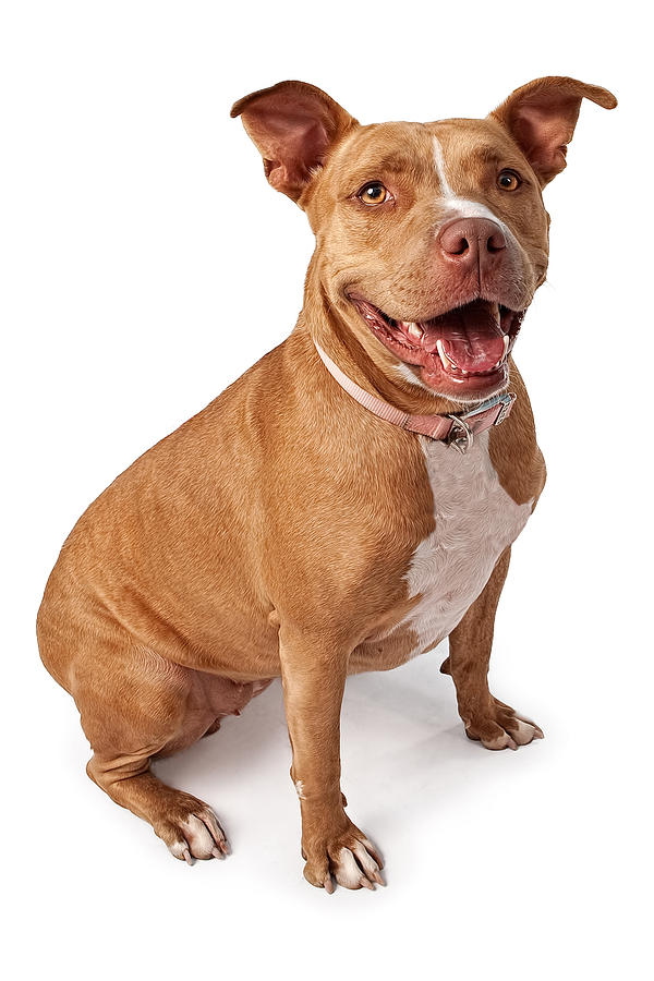 Dog Photograph - Friendly Pit Bull by Susan Schmitz
