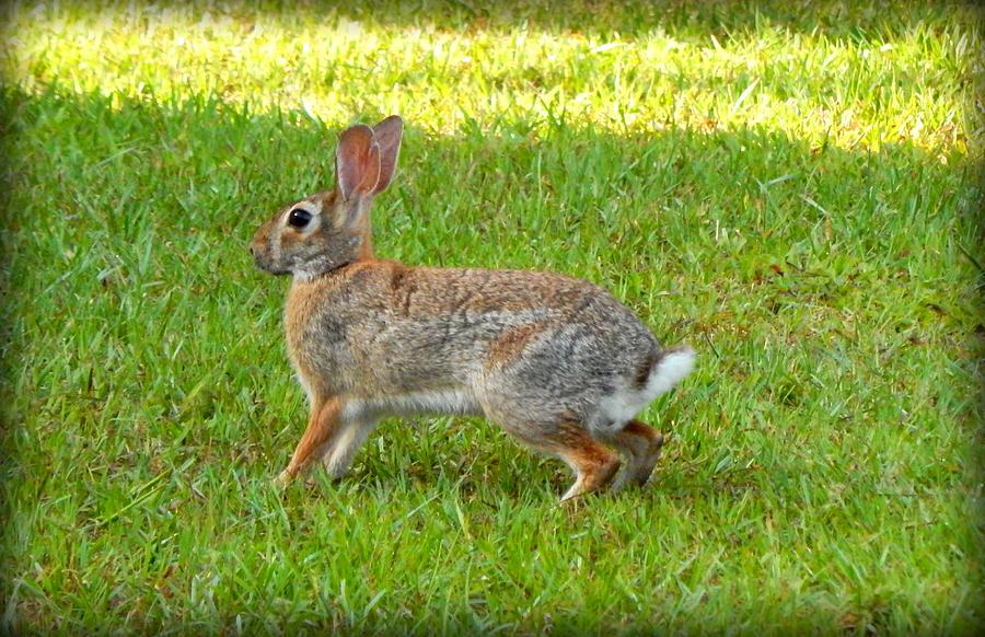 Wild Rabbit Photograph - Friendly Rabbit I by Lynn Griffin