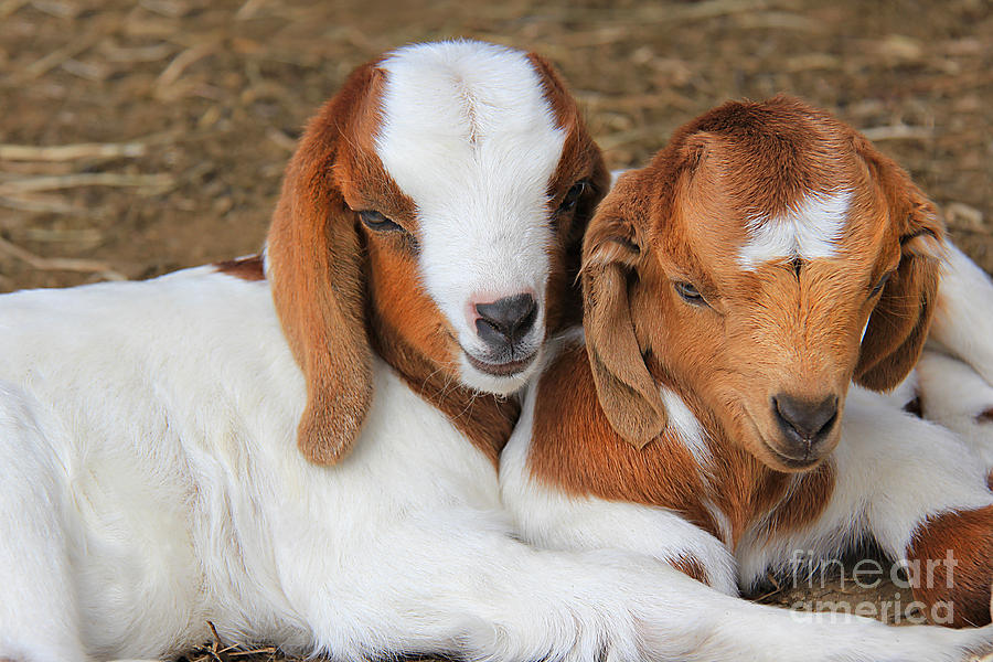 Goat Photograph - Friends Forever by Leslie Kirk