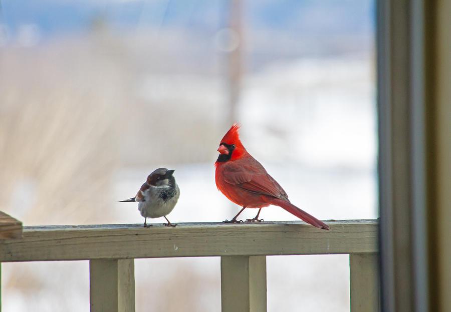 Cardinal Photograph - Friends by Wayne Stabnaw