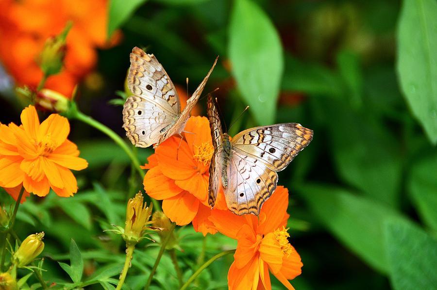 Butterflies Photograph - Friendship by David Earl Johnson