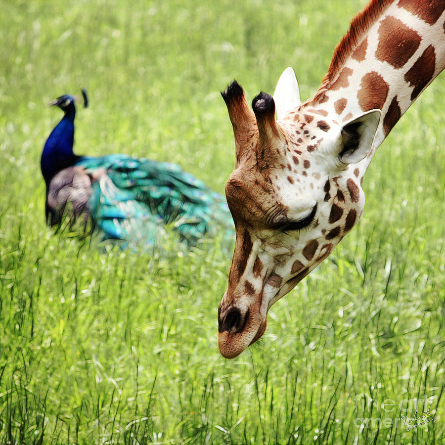 Giraffe Photograph - Friendship by Nishanth Gopinathan