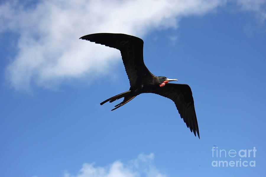 Frigate Photograph - Frigate Bird In Flight by Sophie Vigneault