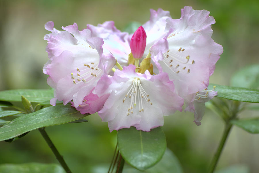 Flower Photograph - Frilly Pinks by Diego Re