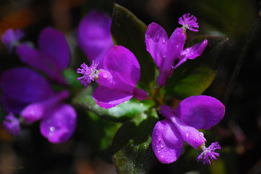 Purple Photograph - Fringed Polygala by Christina Rollo