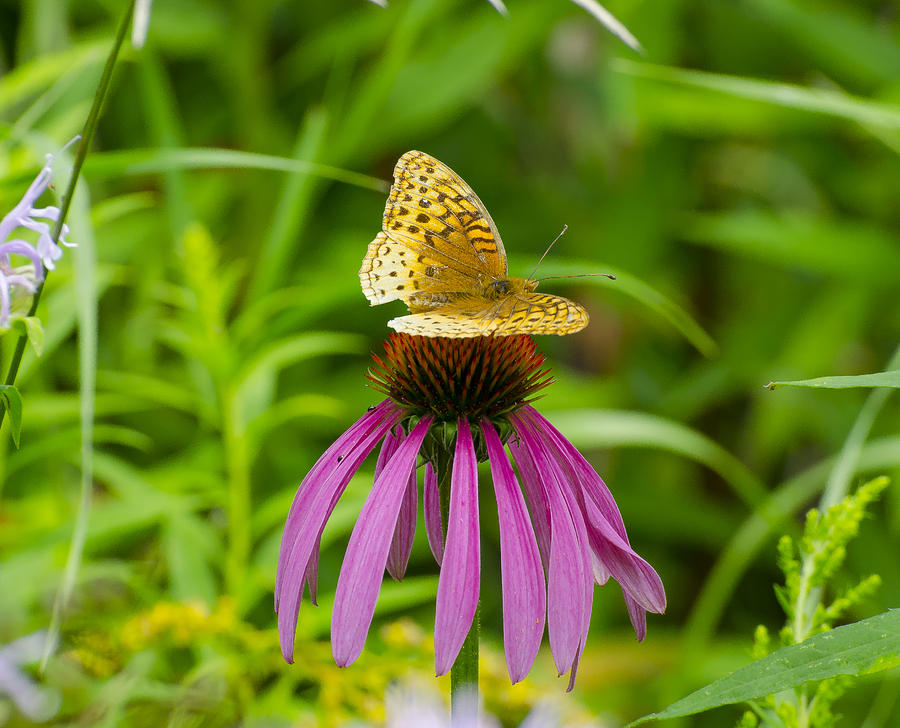 Fritilarie Butturfly On Purple Cone Flower Photograph
