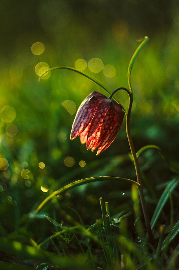 Flower Photograph - Fritillaria Meleagris by Davorin Mance