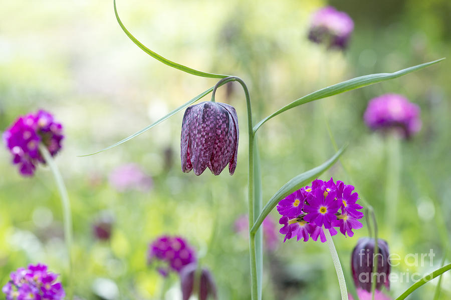 Fritillaria Meleagris Photograph - Fritillary And Primula  by Tim Gainey
