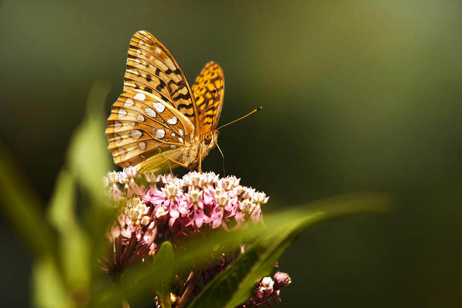 Fritillary Butterfly Photograph - Fritillary Butterfly On Pink Milkweed Flower by Christina Rollo