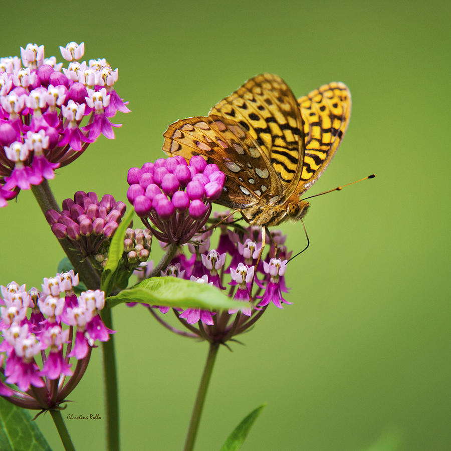 Fritillary Butterfly Photograph - Fritillary Butterfly Square Format by Christina Rollo