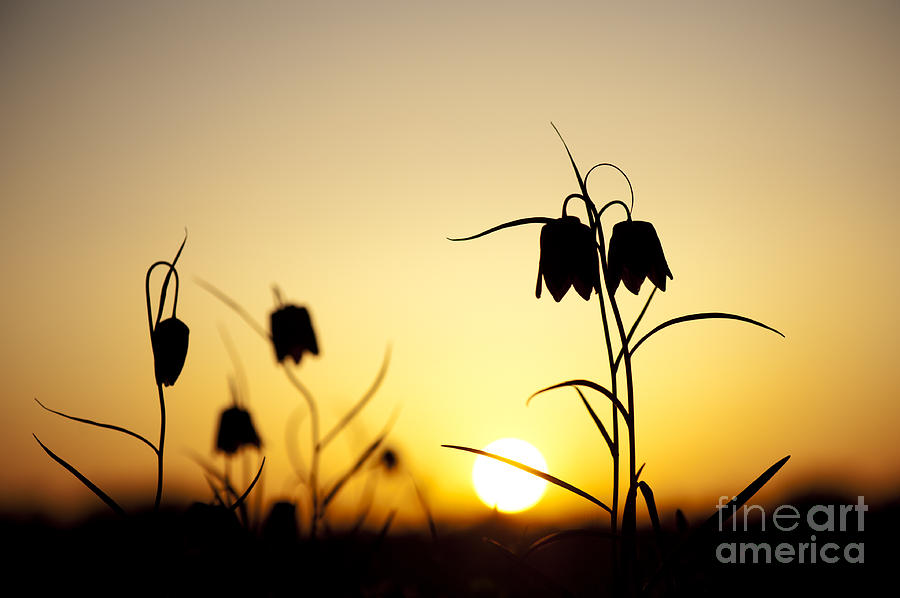 Fritillaria Meleagris Photograph - Fritillary Flower Sunset by Tim Gainey