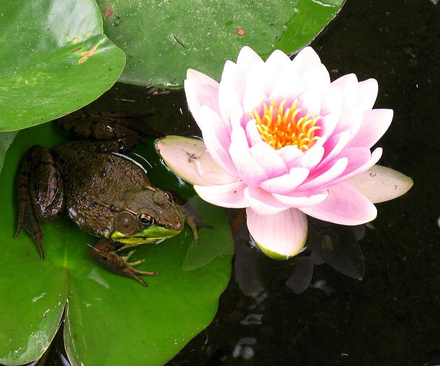 Frog On Lilypad.water Photograph - Frog And Lily by Debbie Finley