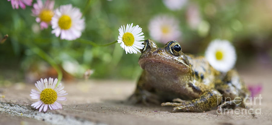 Frogs Photograph - Frog And The Daisy  by Tim Gainey