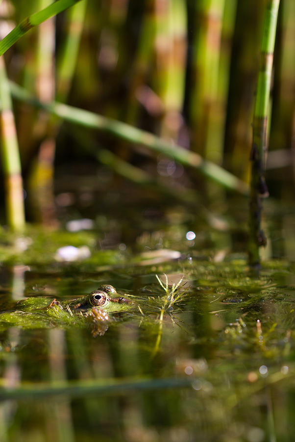 Frog Photograph - Frog Eyes by Andy Van der motte