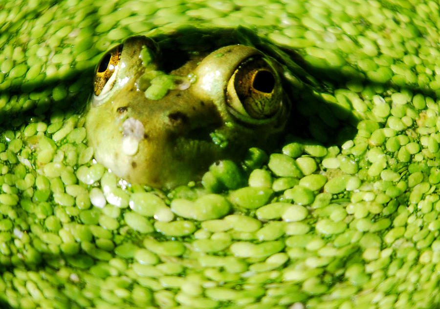 Green Algae Photograph - Frog Eyes by Optical Playground By MP Ray