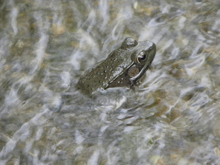 Frog Photograph - Frog In Rippling Water by Cim Paddock